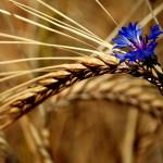 grano fiordaliso