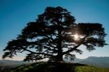 cedro del Libano (Liliana)