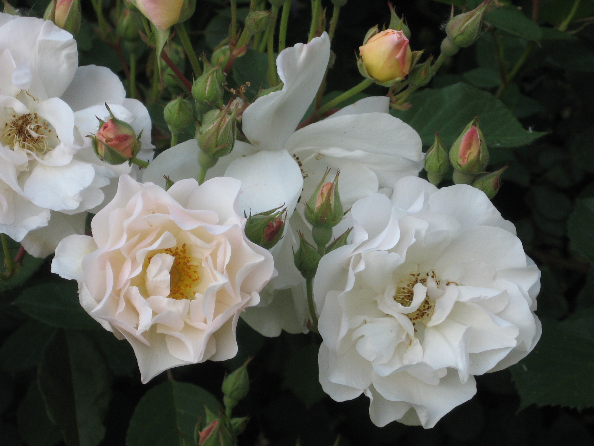 6 rosa penelope