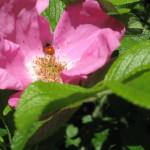 7 rosa rugosa