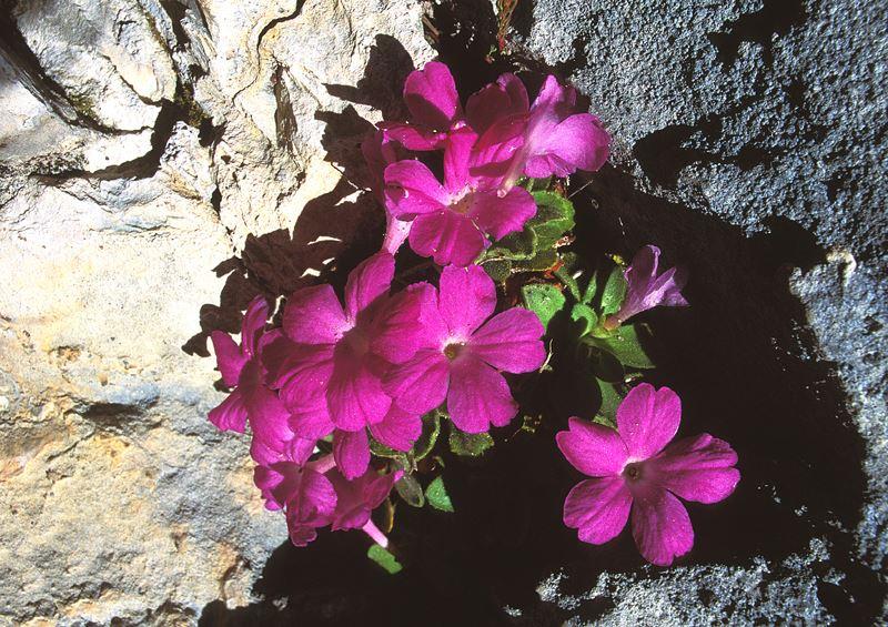 La bellissima ed endemica primula di Allioni che fiorisce sulle pareti calcaree del Parco delle Marittime.