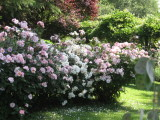 rose-antiche