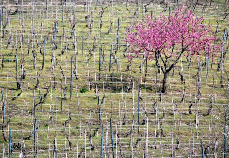 albero-fiorito-vigna