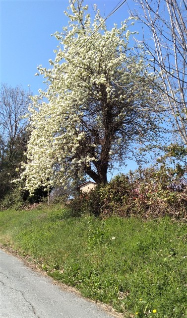 old-pear-in-bloom2