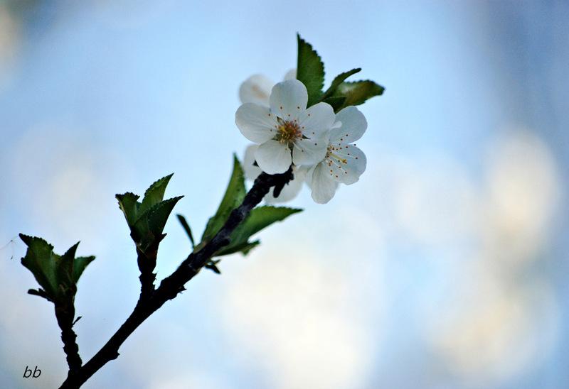 ramo-fiorito
