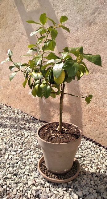 lemon-tree-apr-2020-ii