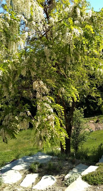 acacia-tree-ii