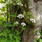 ground-elder-ii