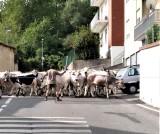 mucche-in-strada-ritag