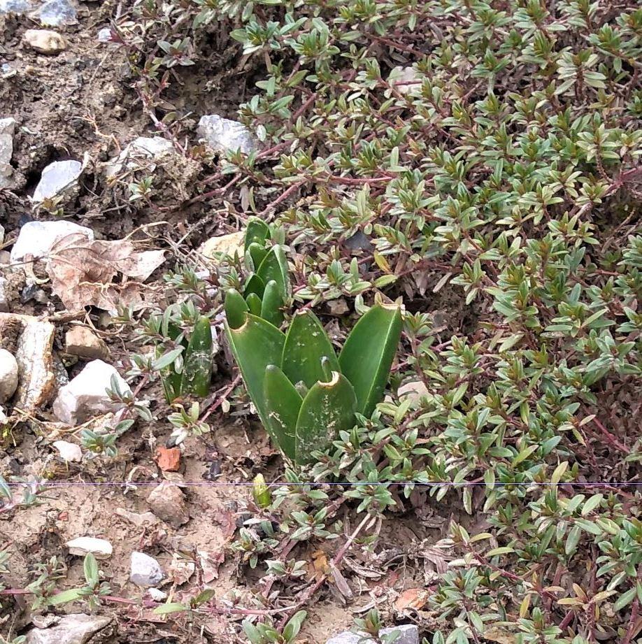 7-tulipani-emergono