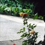 C.Sottocornola, Il giardino di mia madre