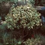 juvenile-magnolia